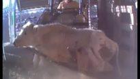 WATCH: Hidden-Camera Video Exposes Shocking Animal Abuse at Livestock Markets