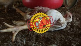"""WATCH: Shocking Animal Abuse Exposed at """"American Humane Certified"""" Foster Farms Slaughterhouse"""