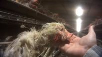 WATCH: The Video the Rotten Egg Industry Doesn't Want You to See