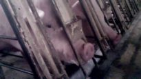 WATCH: Walmart Pork Supplier Caught Abusing Mother Pigs and Piglets