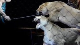 What PETA Saw at Ringling's NYC Show