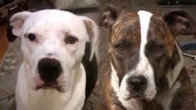 A Lifetime Alone: Chained Dog vs. Family Dog
