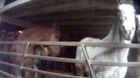 Demolition Derby: PETA's Investigations Expose Horse-Racing Cruelty