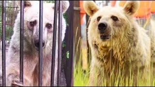 Elderly Bears Take First Steps of Freedom