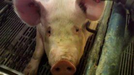 Exposed: Hormel Supplier Mutilates Piglets