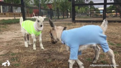 Heads Up! Goats are cute!!