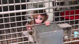 'Human Intruder' Tests | NIH Baby Monkey Experiment #1