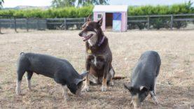 Ruby Loves Piglets Pt 2