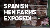 Spanish hen farms exposed!