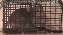 Startle Tests | NIH Baby Monkey Experiment #2