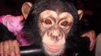 The Epic Rescue of Chimpanzee Lisa Marie