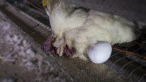 IL VERO PREZZO DELLE UOVA: una nuova scioccante investigazione di Animal Equality Italia