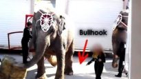 Shrine Circus Bullhook Abuse