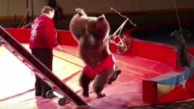 Bear Forced to Stand on Front Legs During Circus Performance Urinates From Apparent Distress