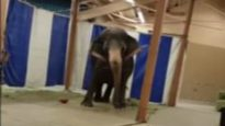 Distressed and Lame Elephants Traveling With Jordan World Circus