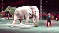 Ringling Elephant Assan Forced to Perform Despite Signs of Lameness