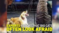 Why Tigers & Lions Used in Circuses Fight Back