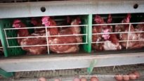 A First Look into Brazil's Cruel Egg Industry