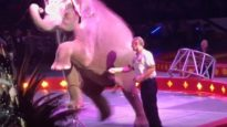 Aggressive Bullhook Use on Young Elephant at Shrine Circus