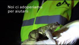 Campagna salvataggio rospi bufobufo