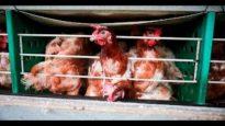 Investigazione nell'industria delle uova in Brasile