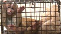 Monkeys Suffering in Laboratories