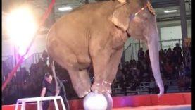 Shrine Circuses Work With Animal Abusers
