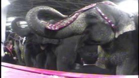 Ringling Beats Animals: A PETA Undercover Investigation