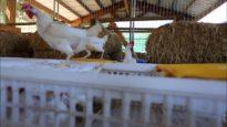 2,000 Hens Free at Last