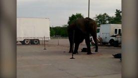 Nosey the Elephant Outside Kaaba Shrine Circus in Davenport, Iowa
