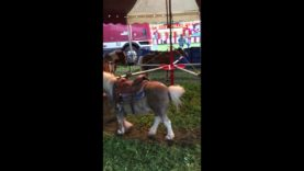 Pony Forced to Give Rides With Painful Overgrown Hooves at Kelly Miller Circus