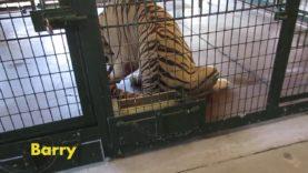 Animals Suffering at Pseudo-Sanctuary Big Cat Habitat