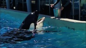 Another Orca at SeaWorld May Be Dying