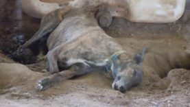 Discarded Greyhounds Imprisoned, Neglected, and Farmed for Their Blood