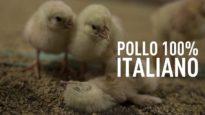 Pollo 100% Italiano: un'inchiesta shock di Animal Equality