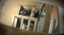 Schokkende beelden uit slachthuis Izegem – 8′