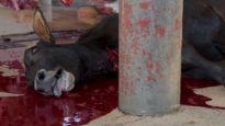 Vacas son desmembradas o desolladas vivas en el matadero.
