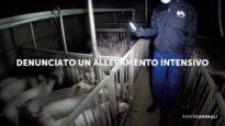 Denunciato un allevamento intensivo di maiali