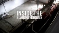 Shocking! Cruelty on Italian Lamb Farms