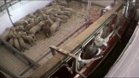 VIDEO CHOC: agnelli macellati senza stordimento
