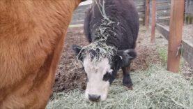 Blind Cow Daffodil Drops Food on Azalea's Head