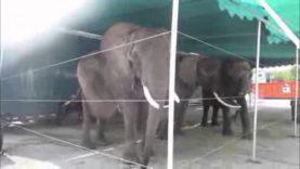 Huge Lump on Circus Elephant's Back Seen on Tape