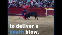 Thousands of Bulls Are Slaughtered in Bullfights Every Year
