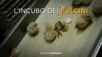 Un'indagine sconvolgente dentro un incubatoio di polli