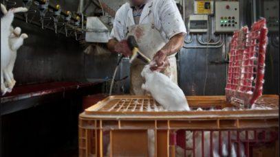 Crudeltà senza fine: la macellazione dei conigli