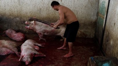 Immovilization or stunning under beatings at the slaughterhouse