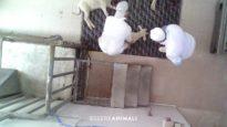 La terribile macellazione degli agnelli per Pasqua – Indagine di Essere Animali