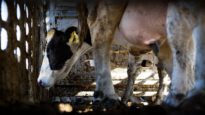 Transportation and receipt of animals in the slaughterhouse