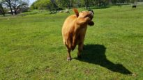 Blind Cow Daffodil Moos for Treats