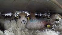 Destinazione: Macello Italiano – Il terribile trasporto degli agnelli